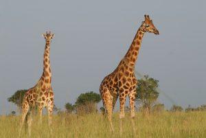 game viewing safari